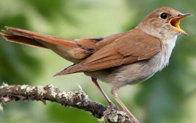 5 Facts and Characteristics of Nightingale Bird