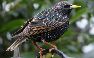 6 Steps How to Prevent Starlings Taking Over Nest Boxes